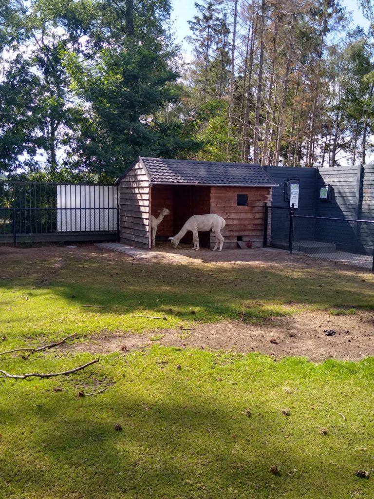 dierenweide met twee alpaca's op camping De Achterste Hoef, Bladel